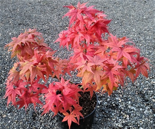 Acer pal. Japanese Princess fall color