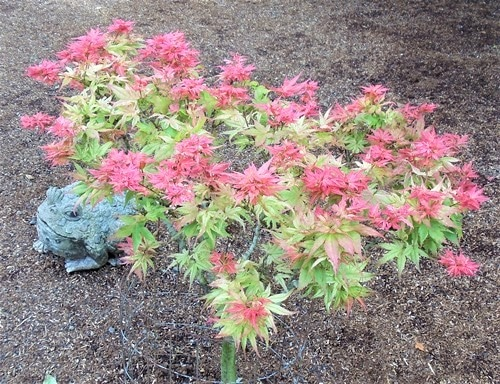 Acer palmatum Japanese Princess June