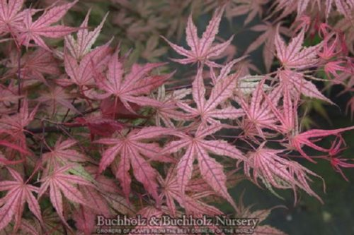 Acer palmatum Olsen's Frosted Strawberry