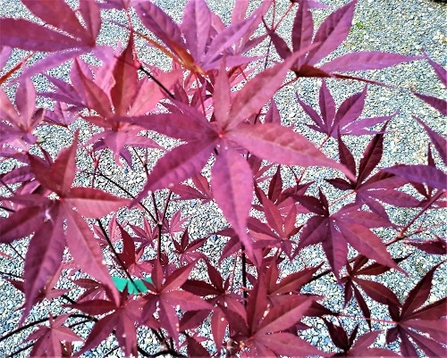 Acer palmatum Red Emperor summer