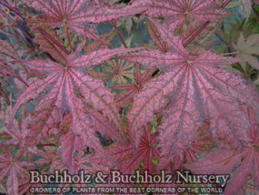 Acer palmatum Frosted Purple Summer shade